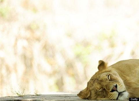 Khi động vật say ngủ
