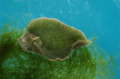 Sên biển: Biết gọi là con hay cây?