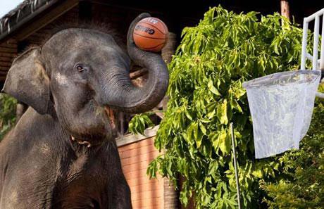 Voi chơi bóng rổ