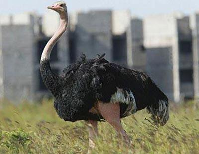 Khủng long tuyệt chủng khiến đà điểu ngừng bay