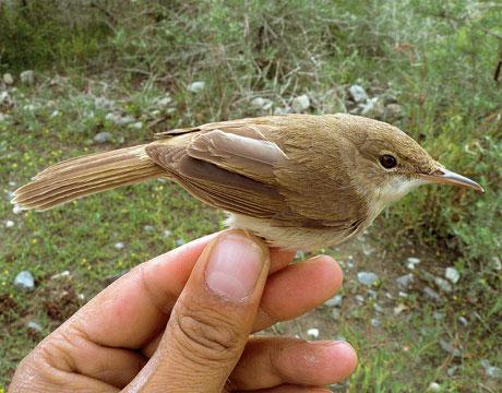Tìm thấy loài chim chích hiếm ở Afghanistan