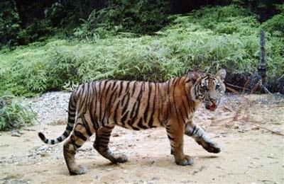 Hổ Mekong có thể bị tuyệt chủng