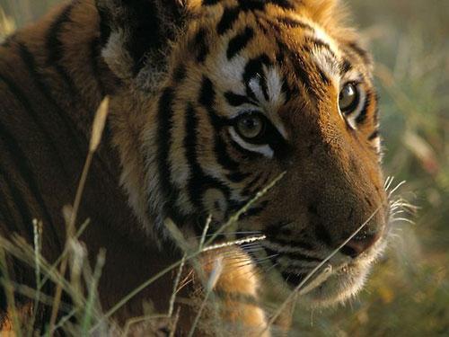 Những khoảnh khắc đáng yêu của hổ Bengal