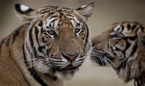 Châu Á nhất trí tăng gấp đôi hổ hoang dã