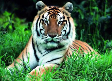 Trung Quốc chỉ còn 45 hổ hoang dã