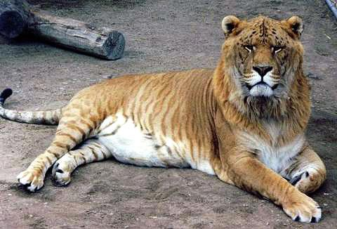 Những đứa con lai giữa hổ và sư tử