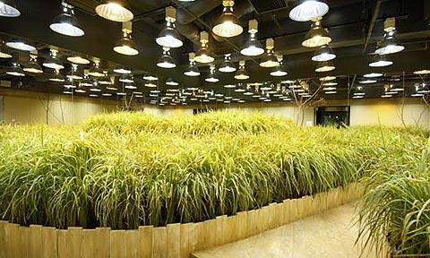 Ăn hạt bông và trồng lúa dưới lòng đất