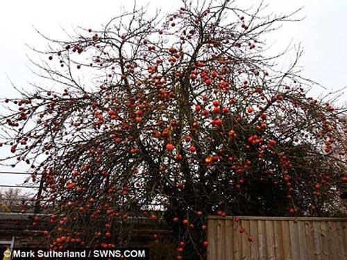 Cây táo trĩu quả chịu rét giỏi nhất