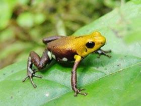 Ecuador phát hiện 5 loài ếch mới ở rừng Amazon