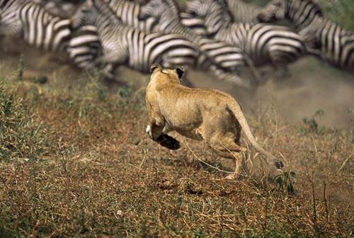 Sư tử tấn công ngựa vằn