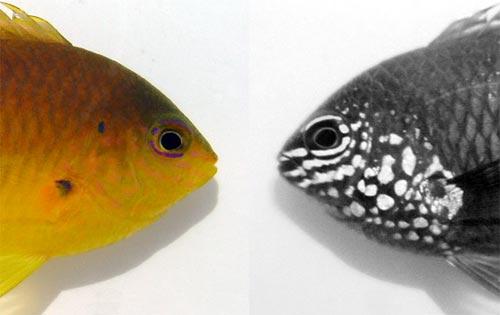 Cá nhận ra nhau dưới ánh sáng tử ngoại