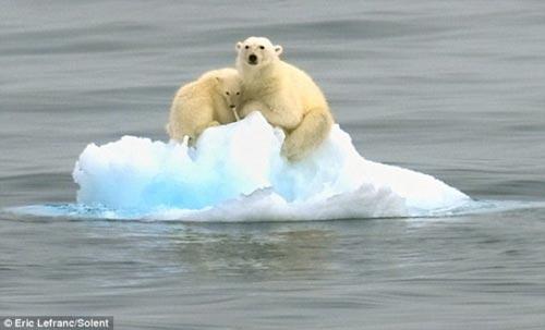 Mẹ con gấu Bắc Cực lênh đênh trên biển