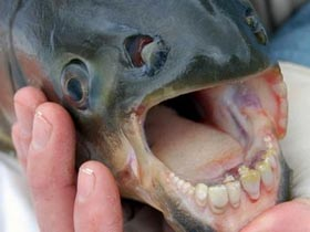 Bí ẩn cá có hàm răng giống người