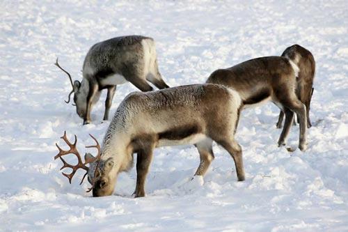 Tuần lộc ở Bắc cực không dùng đồng hồ sinh học