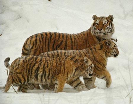 Liên Hợp Quốc lo ngại về sự tồn vong của hổ