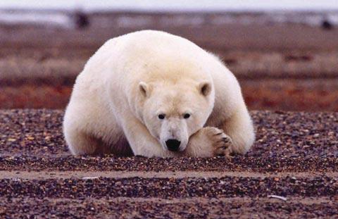 Động vật Bắc Cực kêu cứu