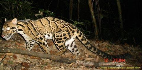 Phát hiện 7 loài mèo lạ trong rừng nhiệt đới