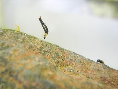 Phát hiện côn trùng lưỡng cư đầu tiên