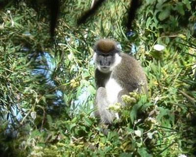 Loài khỉ ăn tre bí ẩn tại châu Phi