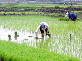 Cách nâng cao năng suất cây lúa trên đất bạc màu