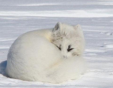 Hành trình phi thường của cáo Bắc Cực