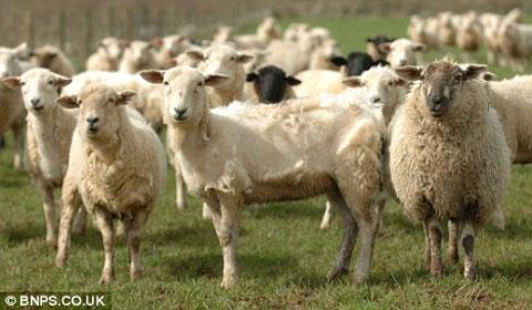 Anh tạo giống cừu tự rụng lông