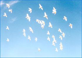 Chim bồ câu cũng phân biệt đẳng cấp trong đàn