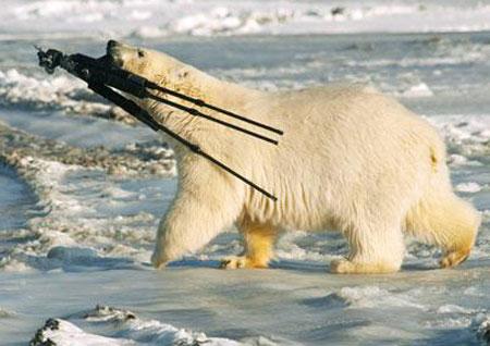 Gấu trắng 'cướp' đồ của người