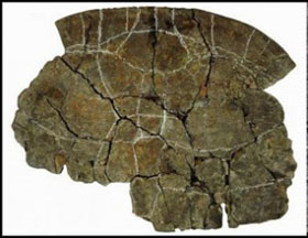Phát hiện hóa thạch 'rùa mai dày' ở Columbia