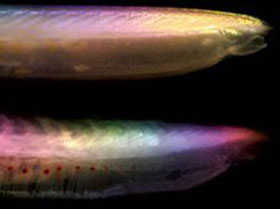Cá thối dùng để nghiên cứu hóa thạch