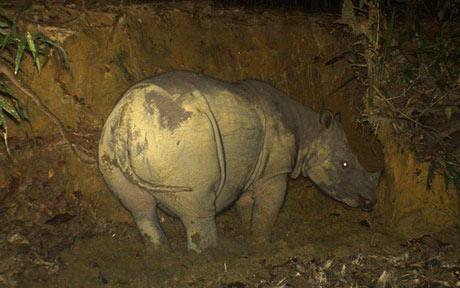 Chụp được ảnh tê giác Sumatra mang thai