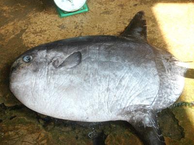 Bắt được con cá lạ nặng hơn 30kg