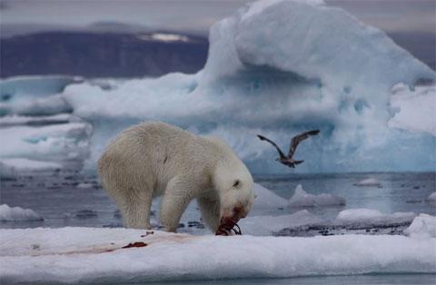 Gấu trắng săn chim