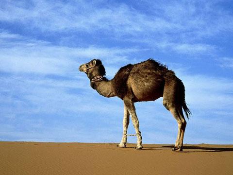 Lạc đà - Chúa tể của sa mạc