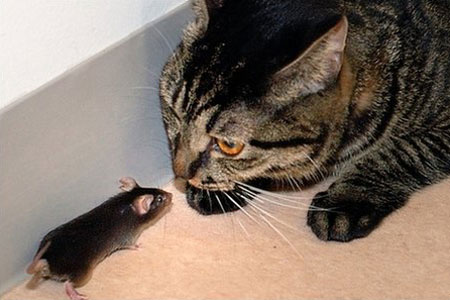 Vì sao chuột sợ mùi mèo