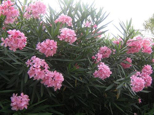 28 loại cây cảnh tuy rất đẹp nhưng chứa chất độc gây chết người