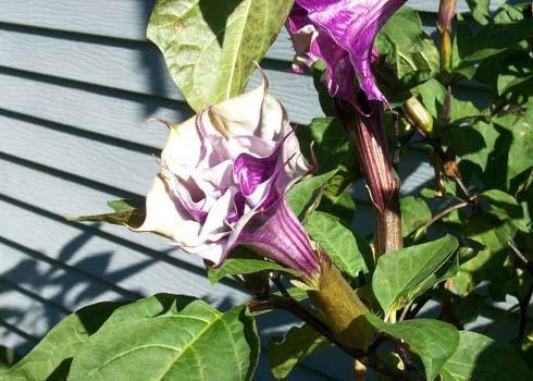 Cà độc dược, một số loại cà kiểng, hoa Lưu ly