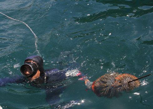 Diệt sao biển gai để bảo vệ san hô