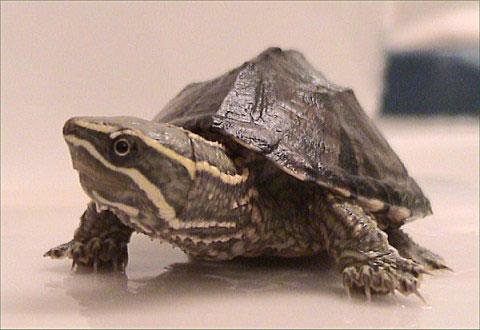 Phát hiện loài rùa thở bằng lưỡi