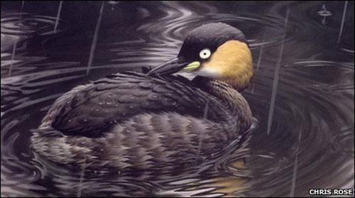 Loài chim lặn Alaotra Madagascar đã tuyệt chủng