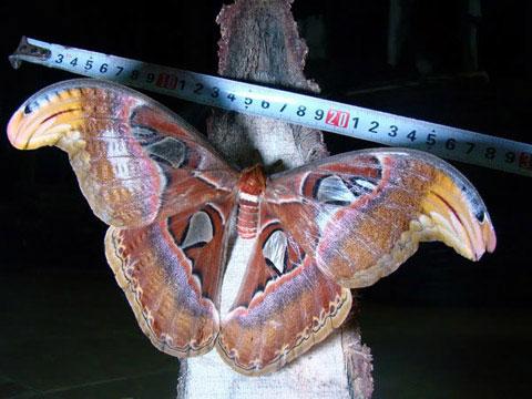 Tìm thấy con bướm khổng lồ ở Việt Nam