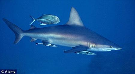 Giải mã bí ẩn về khứu giác 'siêu' nhạy của cá mập