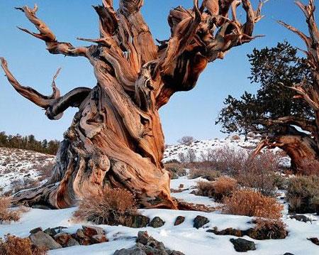 Cây thông gần 5.000 tuổi