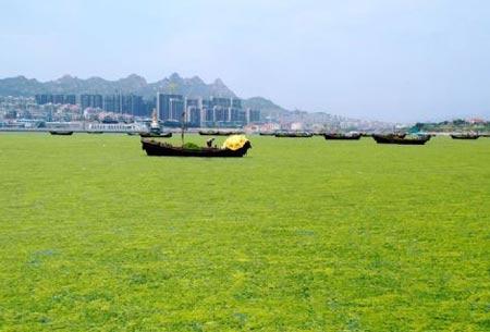 Đám tảo khổng lồ đe dọa Trung Quốc