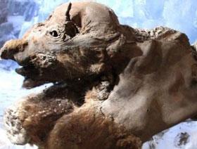 Phát hiện xác ướp ma mút con lâu đời nhất