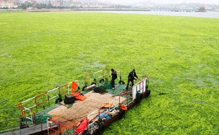 Đám tảo khổng lồ ở Trung Quốc phình to