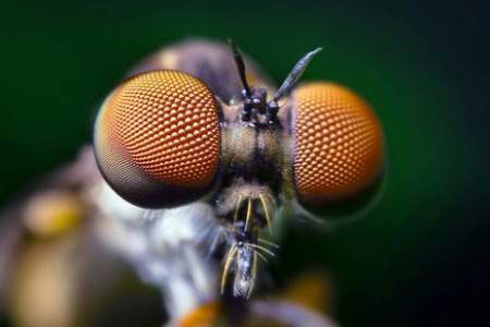 Đôi mắt của Assasin Fly có một tầm nhìn rất hoàn hảo.