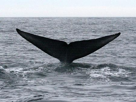 Phát hiện quần thể cá voi nhỏ nhất thế giới