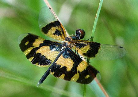 10 loài côn trùng kỳ lạ ở Việt Nam