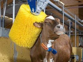 Thụy Điển phát minh ra loại máy tắm cho bò sữa